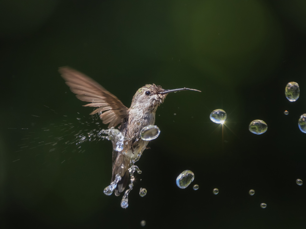 A piece of fine art art photography titled Hummingbird and Water Drops by weilian