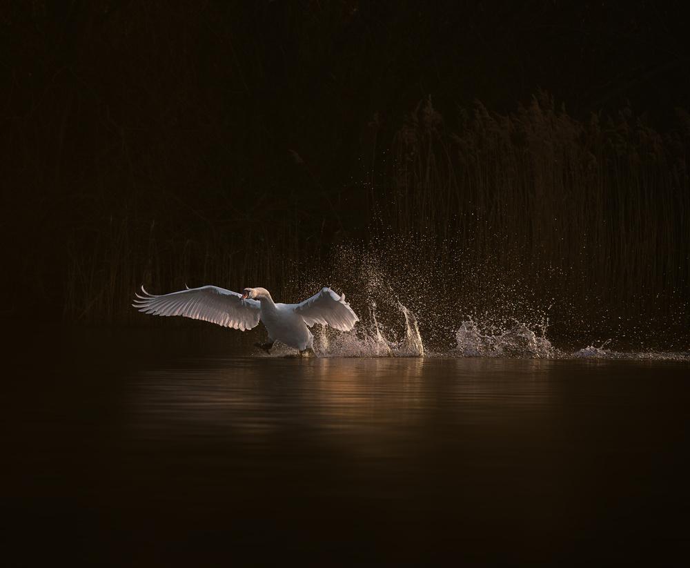swan's morning