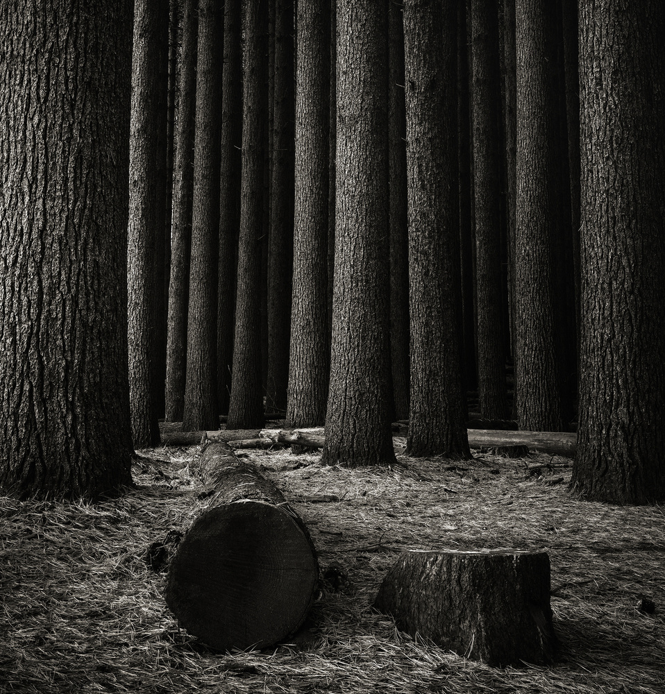 A piece of fine art art photography titled Sugar Pines by Grant Galbraith