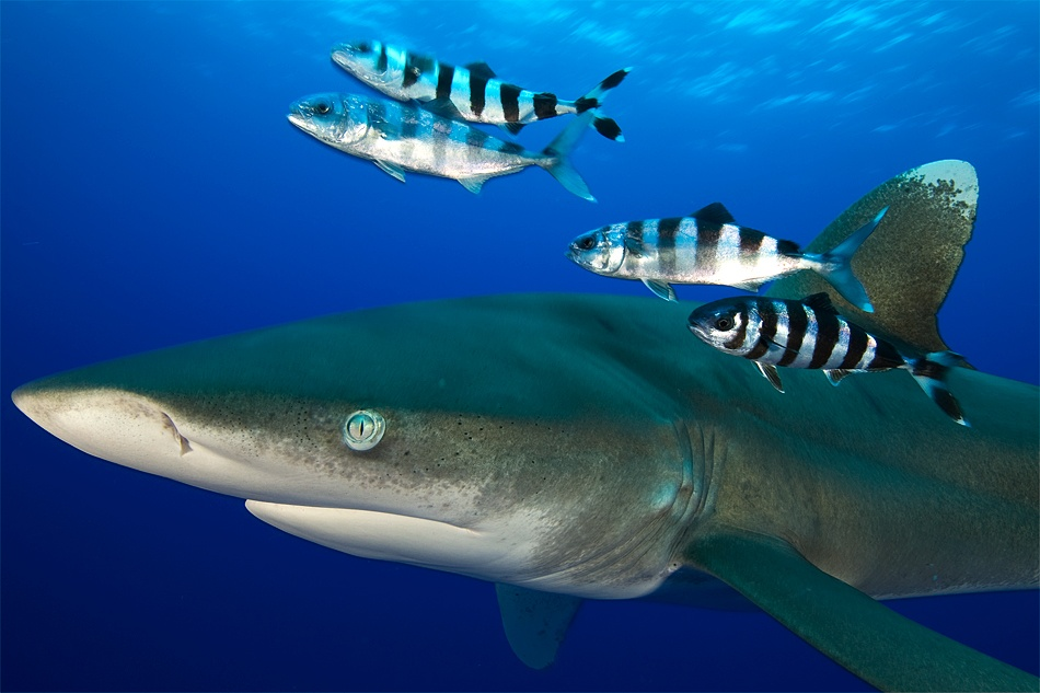 A piece of fine art art photography titled Oceanic Whitetip Shark by Marcus Lim