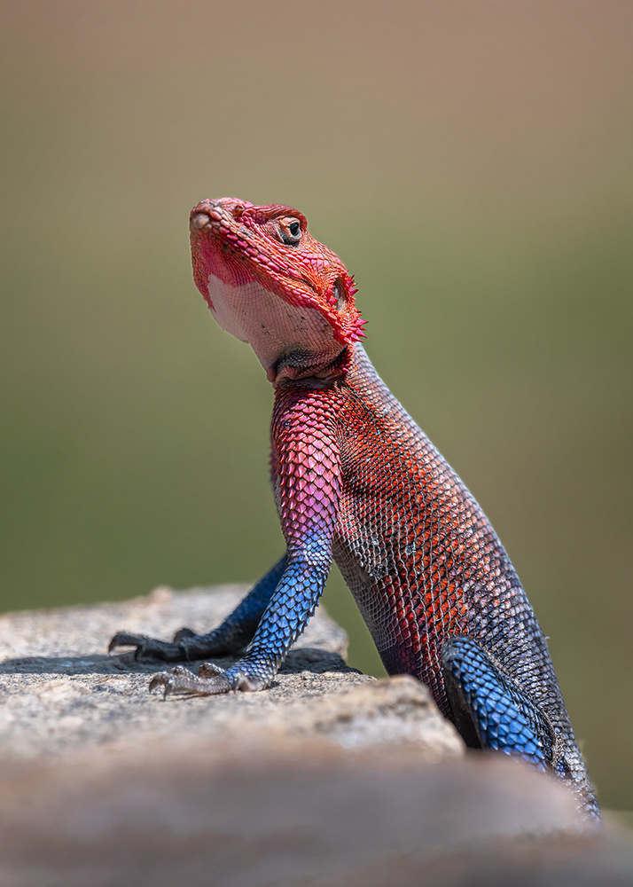 A piece of fine art art photography titled Red-Headed Rock Agama In Kenya by Annie Poreider