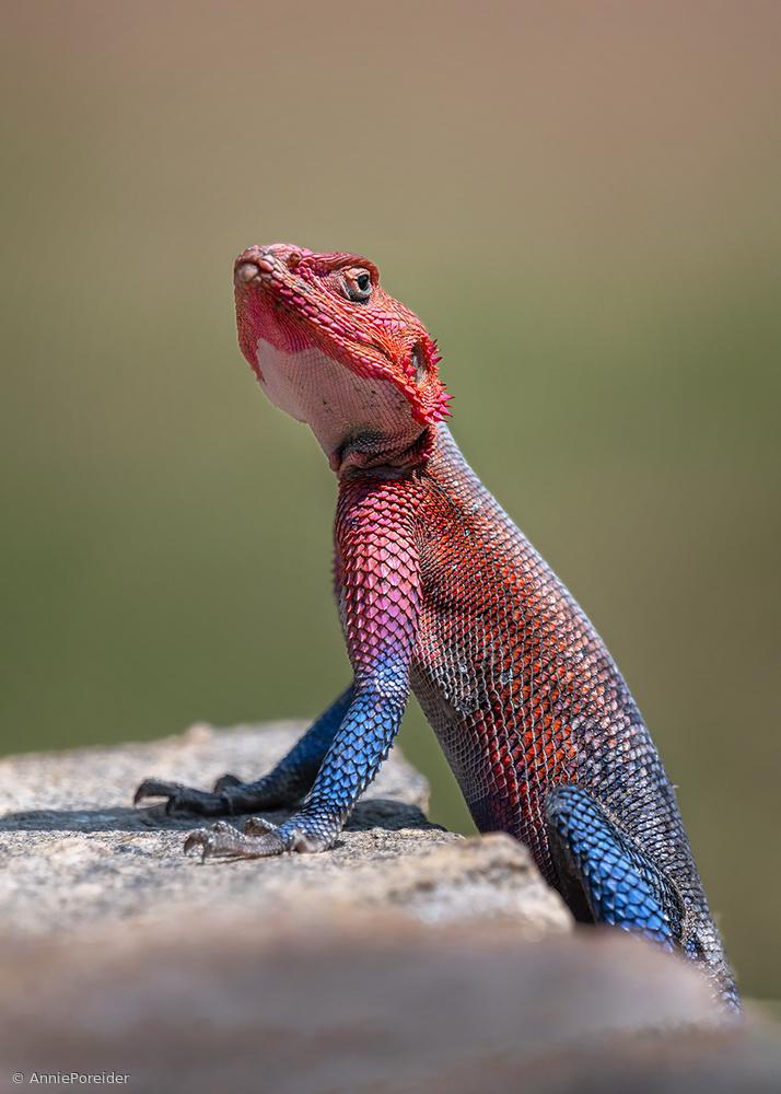 Red-Headed Rock Agama in Kenya