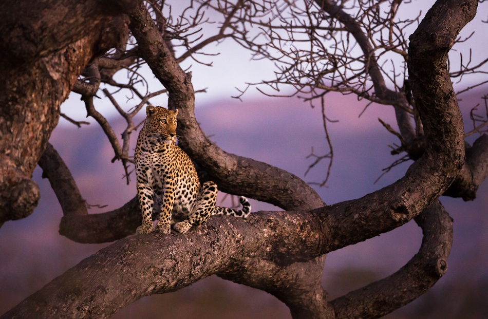 A piece of fine art art photography titled Leopard In Sunset by Allan Høgholm