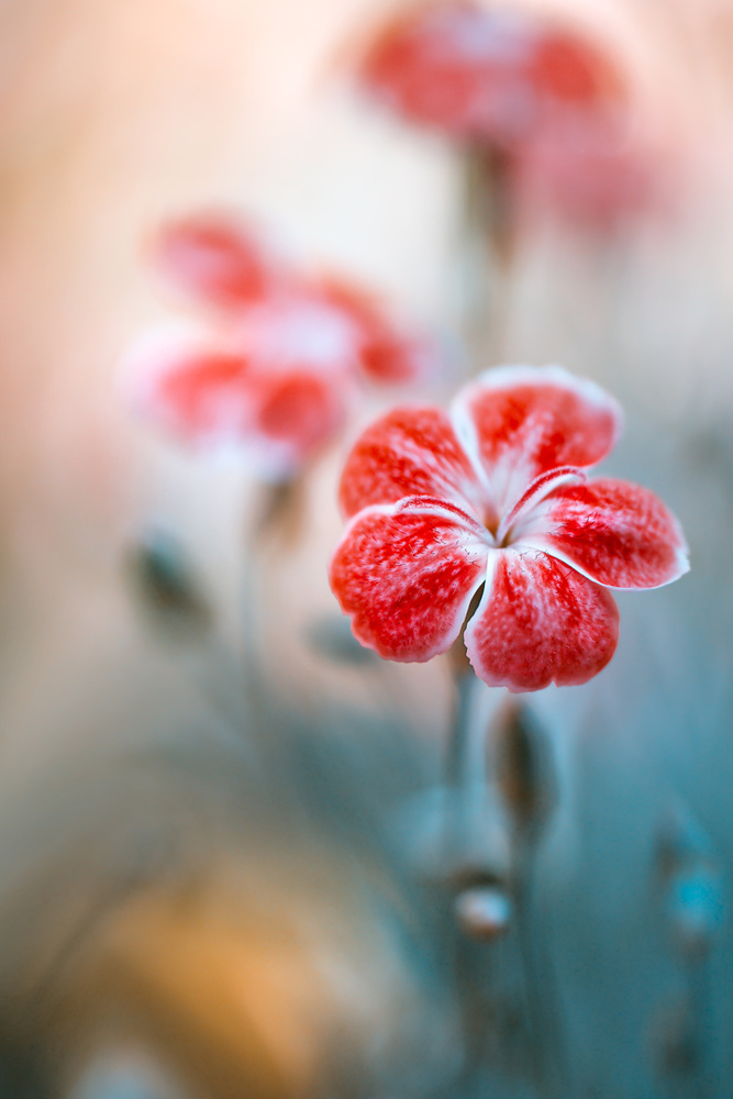 A piece of fine art art photography titled Dianthus by Mandy Disher