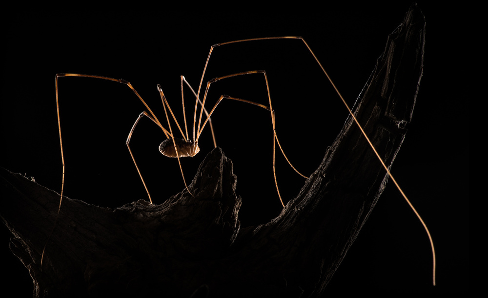 View this piece of fine art photography titled Daddy Longlegs by Victor Mozqueda