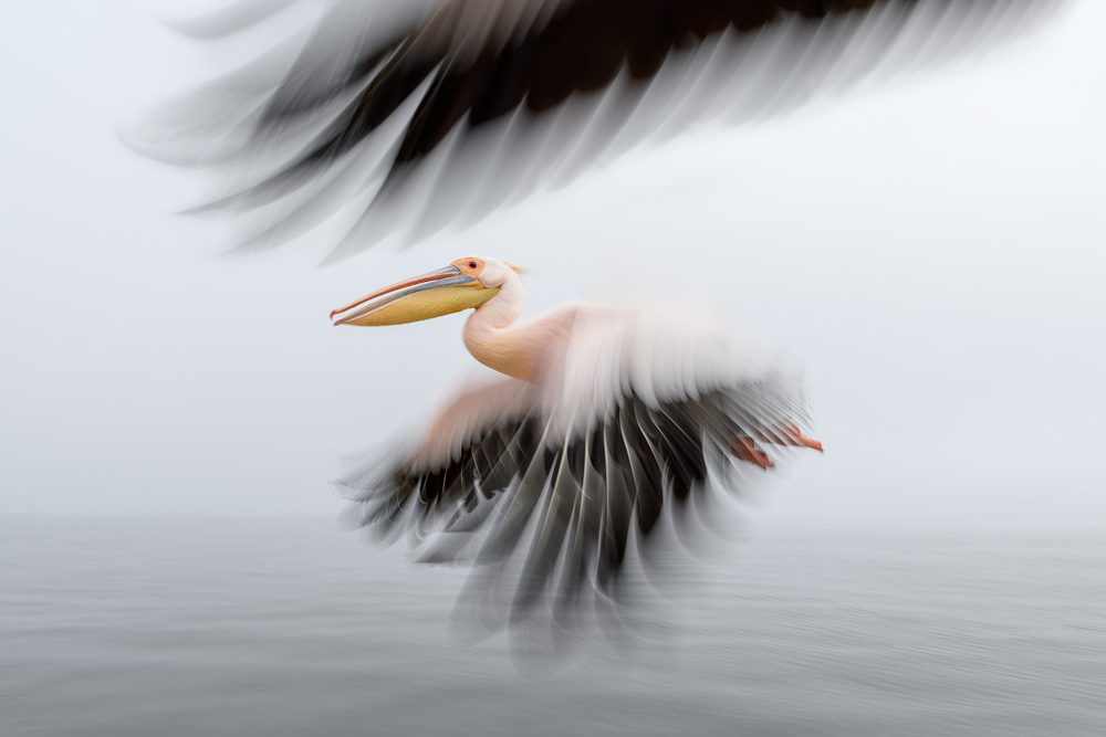 A piece of fine art art photography titled Pelican Escort by Marsel van Oosten