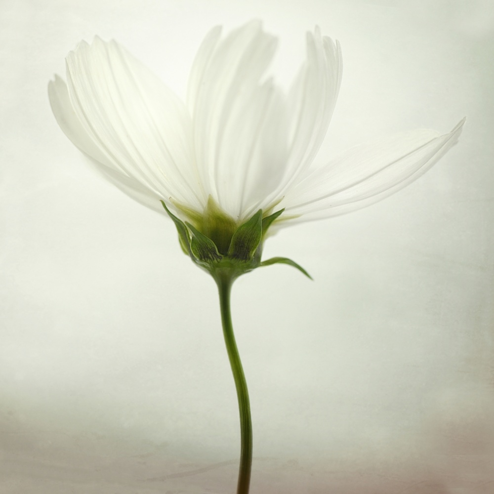 A piece of fine art art photography titled White Cosmos by Lotte Grønkjær