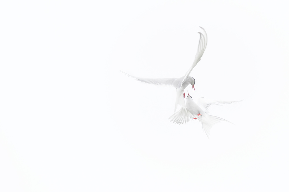 A piece of fine art art photography titled Arctic Terns by Roberto Marchegiani
