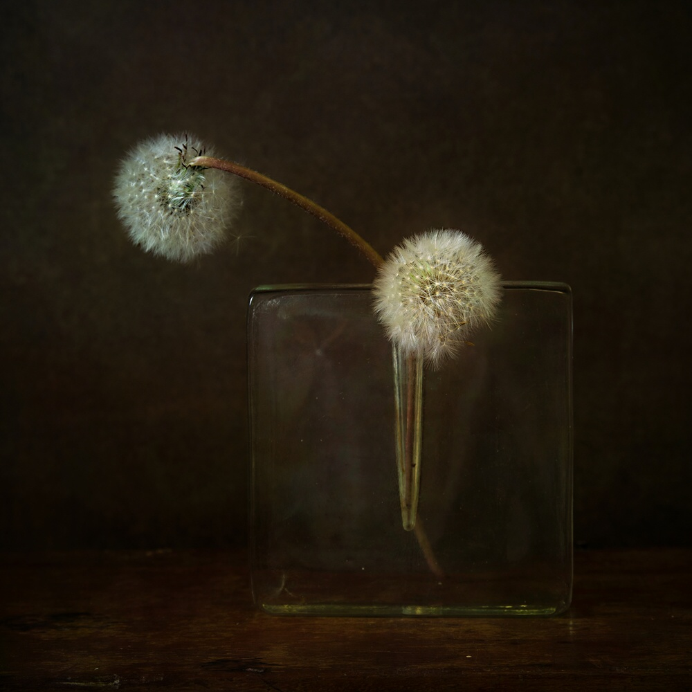 View this piece of fine art photography titled still life with two dandelions by Saskia Dingemans