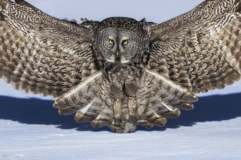 View this piece of fine art photography titled Great Grey Owl by Jun Zuo