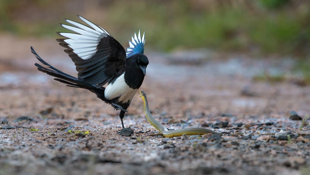 A piece of fine art art photography titled Magpie Ninja by Dennis Heckman