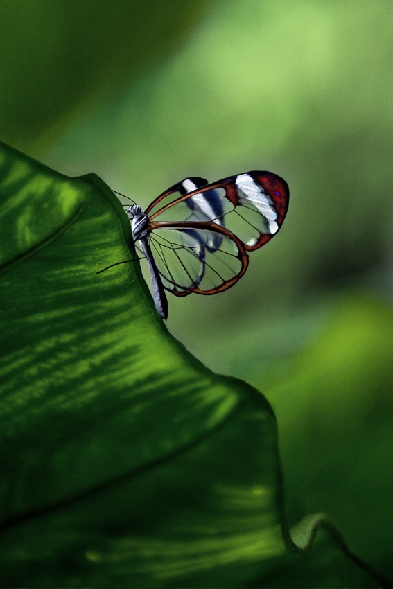 A piece of fine art art photography titled Greta Oto - Butterfly by Carlos Cass
