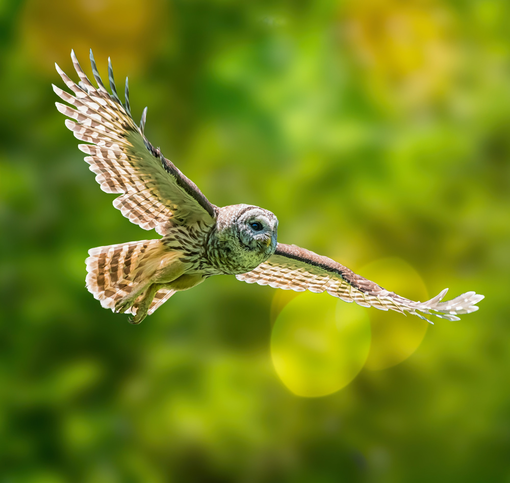 View this piece of fine art photography titled Barred Owl by Alex Li