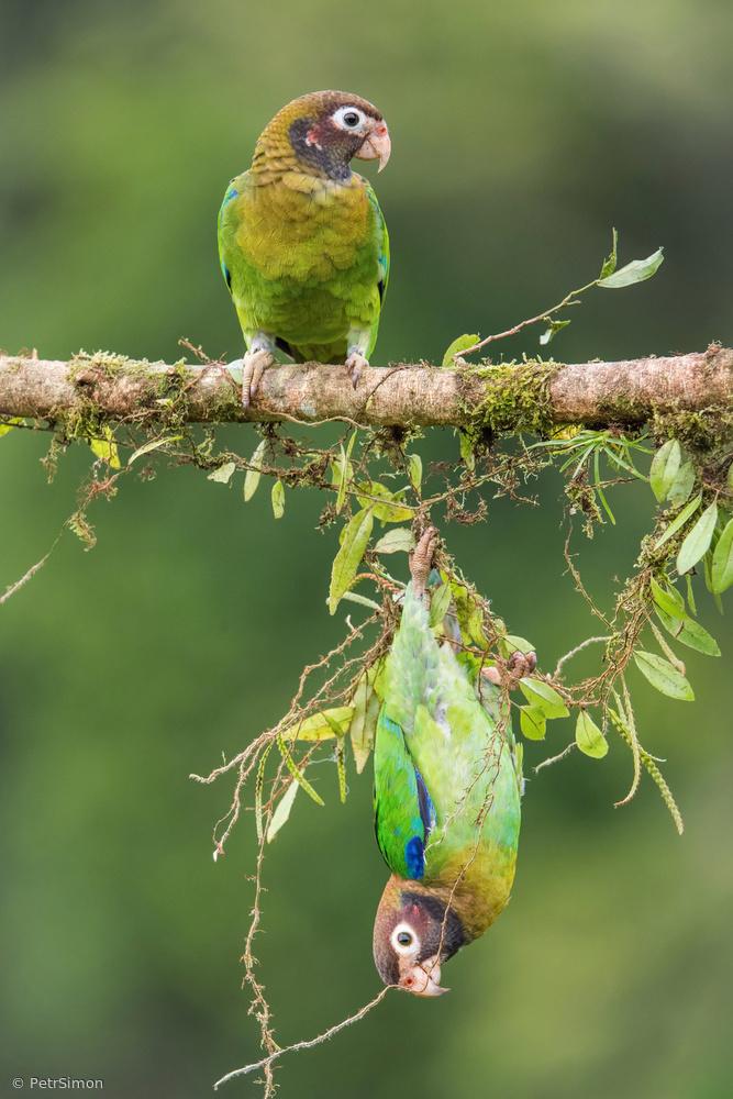 Pionopsitta haematotis, Brown-hooded parrot