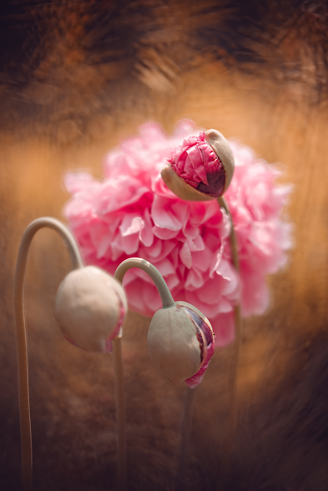 A piece of fine art art photography titled Poppies from Lublin by Magdalena Wasiczek