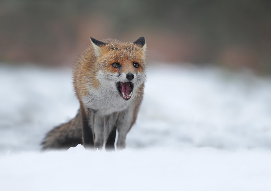 A piece of fine art art photography titled Winter Fox by Lee Fisher