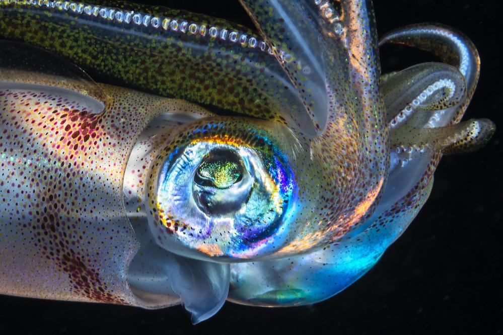 A piece of fine art art photography titled Eye of Squid by Barathieu Gabriel