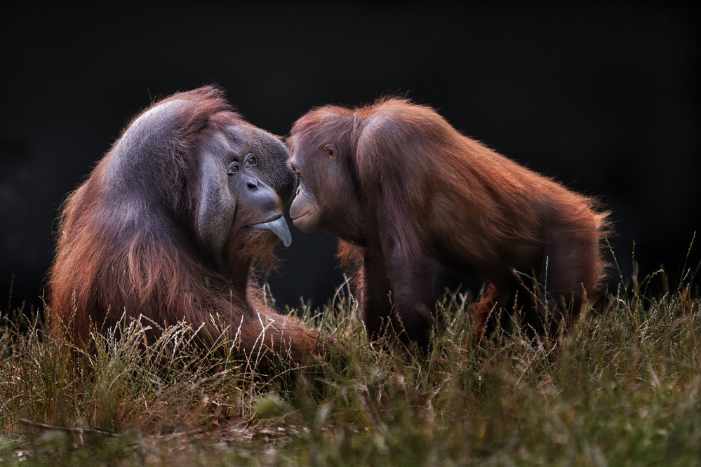 A piece of fine art art photography titled Apes for Mates by Hugh Wilkinson