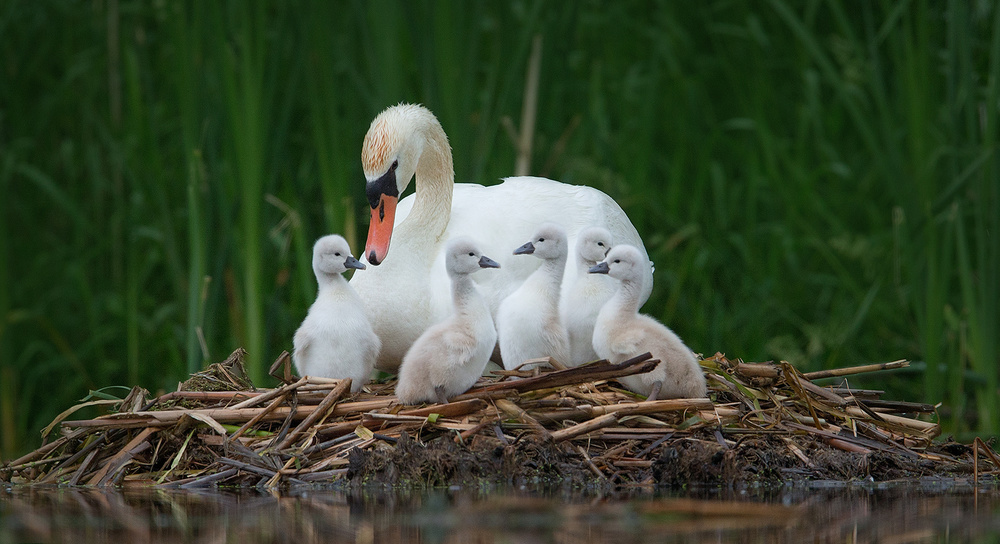A piece of fine art art photography titled Mother Swan With Kids by Christopher Schlaf