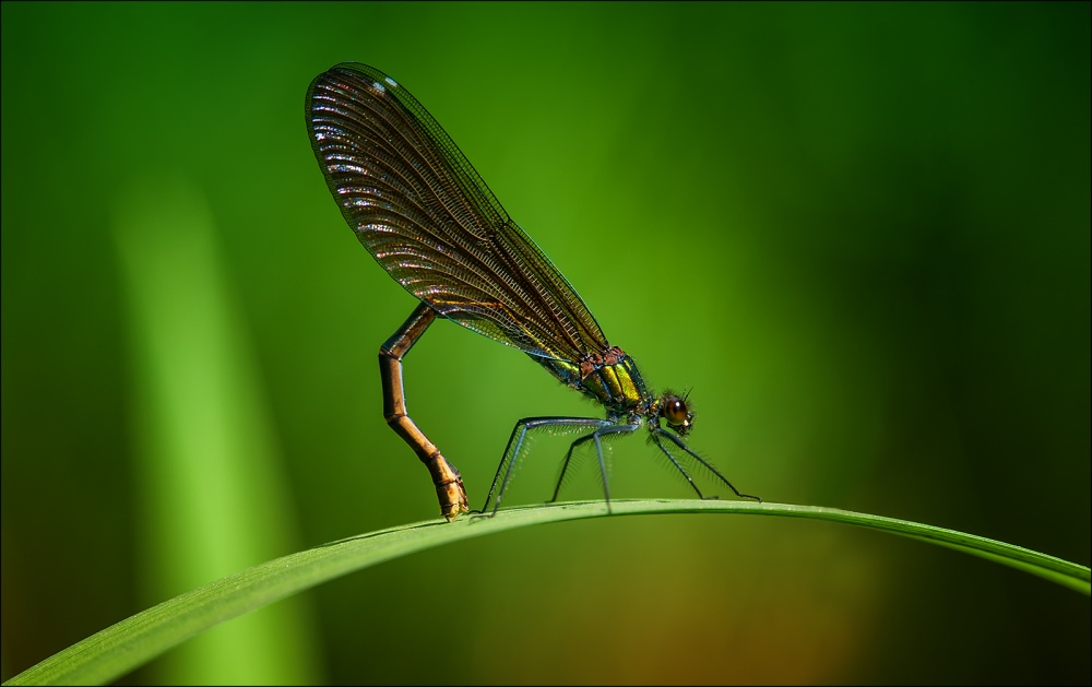 A piece of fine art art photography titled Beautiful Demoiselle ( Female ) by Ronny Olsson