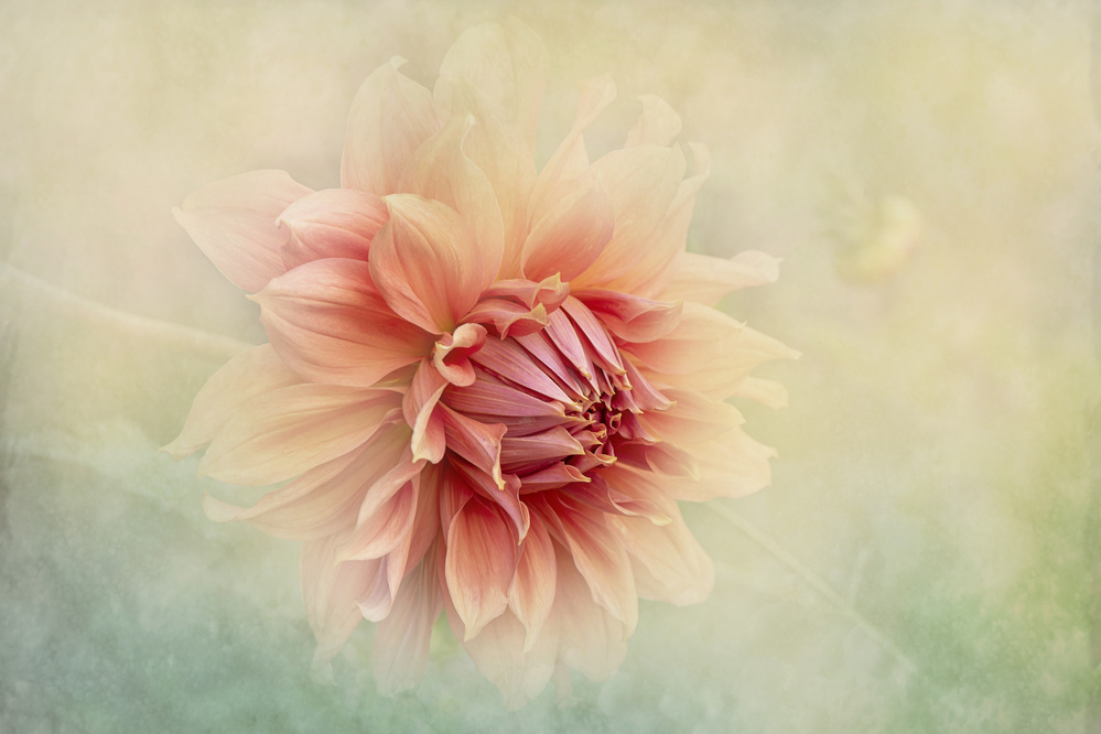 View this piece of fine art photography titled Dahlia by Vito Castrignano