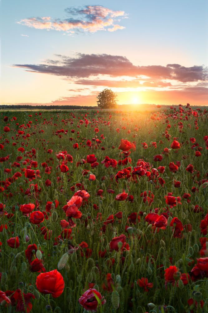 A piece of fine art art photography titled Poppy Fields of Sweden by Christian Lindsten
