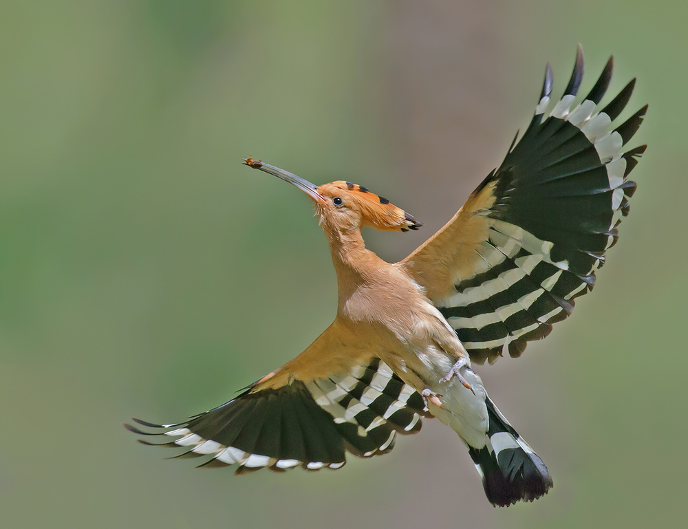 A piece of fine art art photography titled Hoopoe by yaki zander