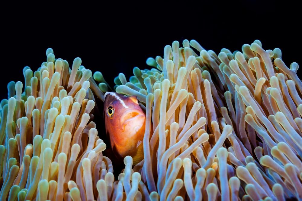 A piece of fine art art photography titled Clownfish by Barathieu Gabriel