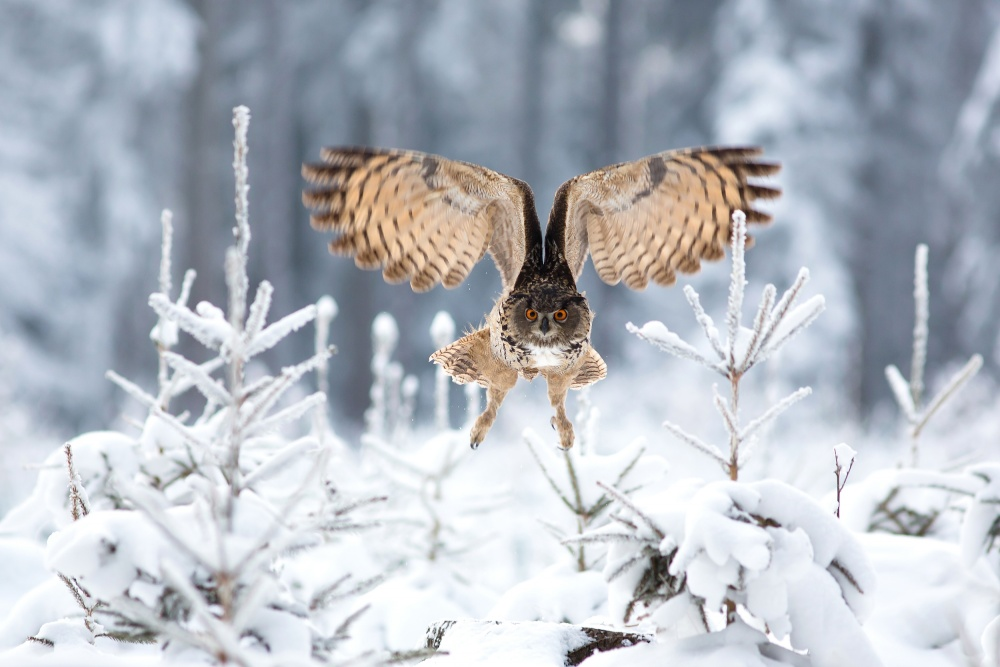 A piece of fine art art photography titled Eurasian Eagle-owl by Milan Zygmunt