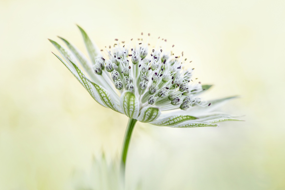 View this piece of fine art photography titled ~Astrantia~ by Inna Karpova