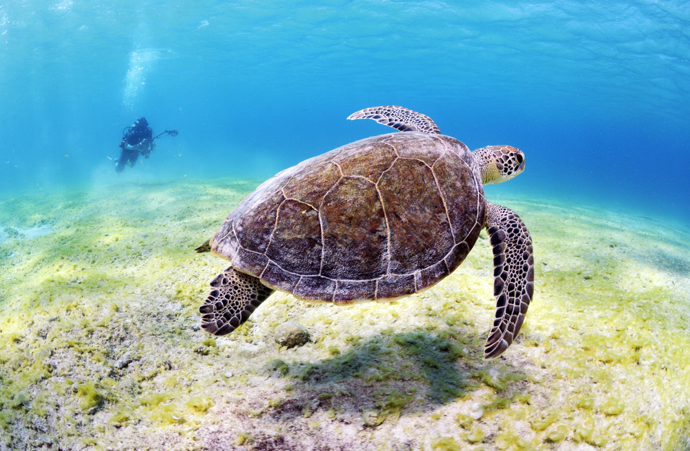 View this piece of fine art photography titled Swimming turtle by Val n Gael