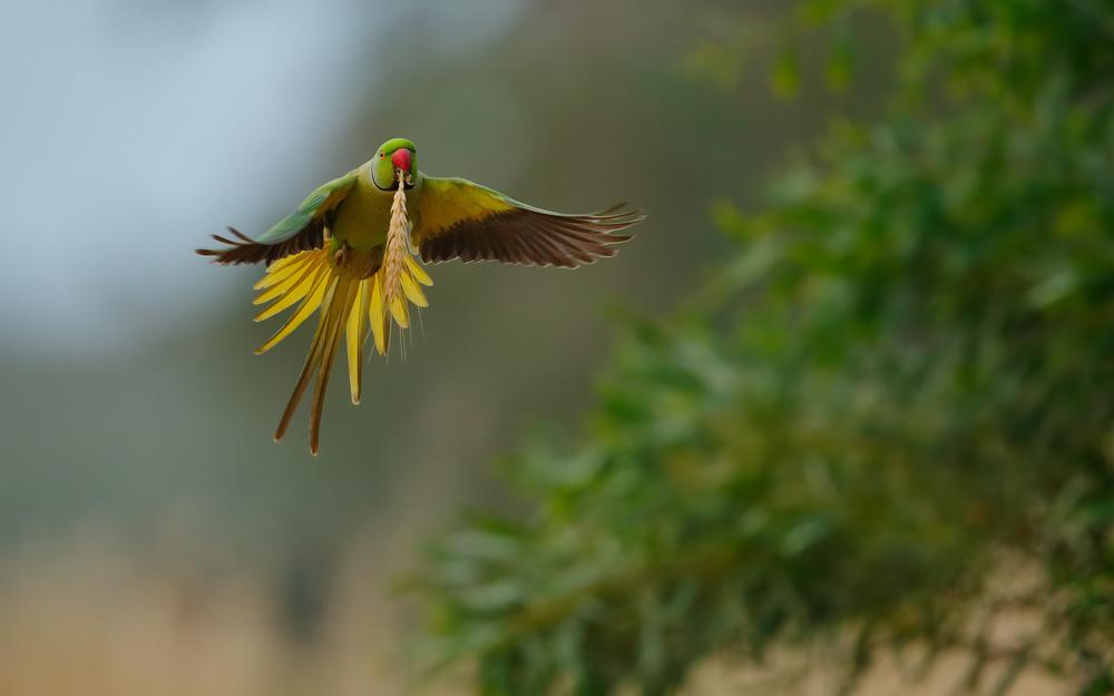 A piece of fine art art photography titled Rose Ring Parakeet In Flight by Assaf Gavra