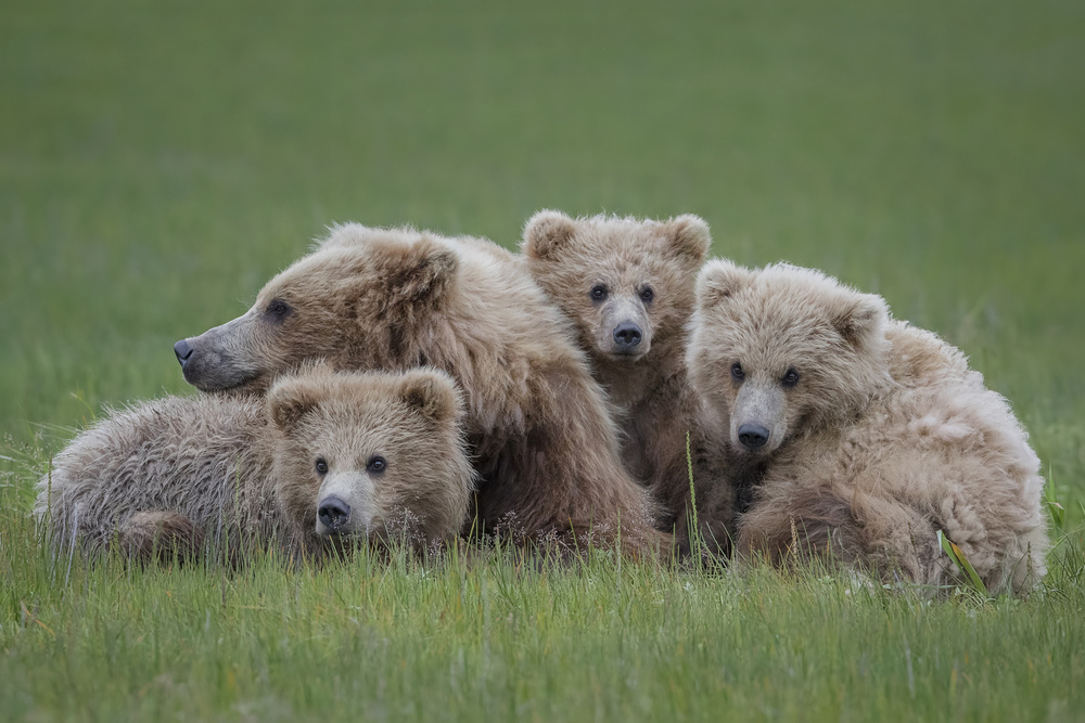 A piece of fine art art photography titled Bear Huddle by Renee Doyle