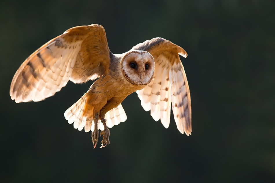 A piece of fine art art photography titled Barn Owl by Robert Adamec