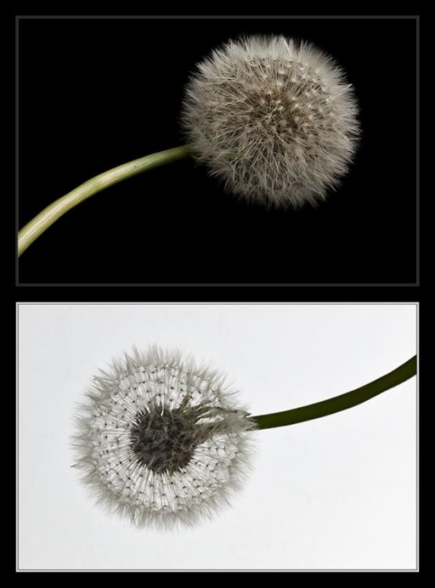 Yin-Yang Dandelion