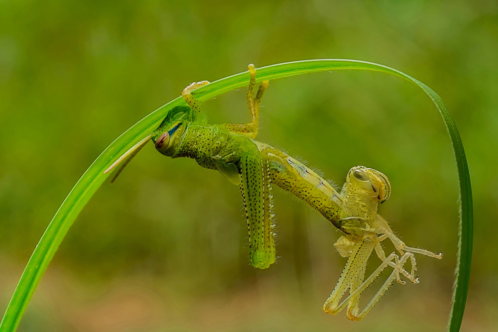 A piece of fine art art photography titled Locust Molting by Xióng Lù