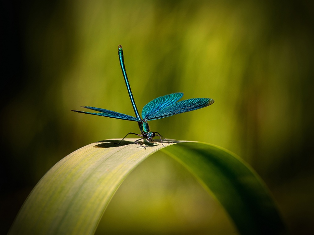 A piece of fine art art photography titled Beautiful Demoiselle by Ronny Olsson