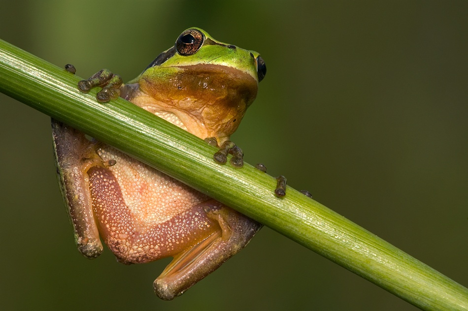 A piece of fine art art photography titled Mediterranean Tree Frog by Filipe Caetano