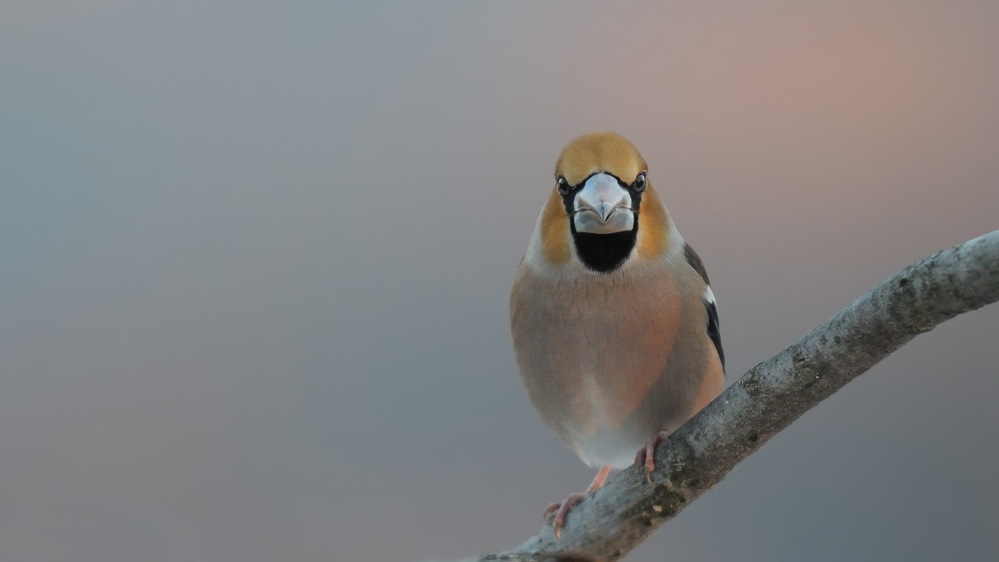 Hawfinch at sunrise