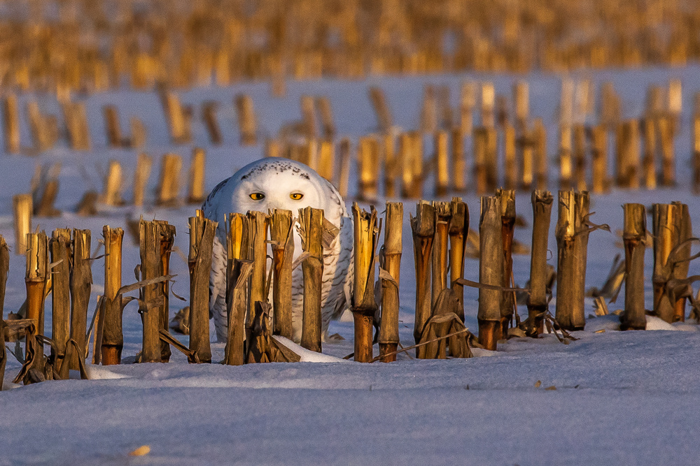 Snowy Owl at sunrise