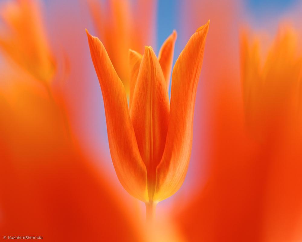 Kensaki Tulip