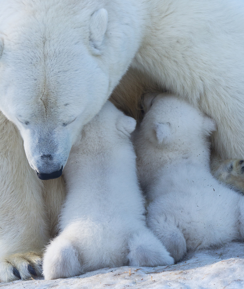 Polar bear mom feeding twins cub