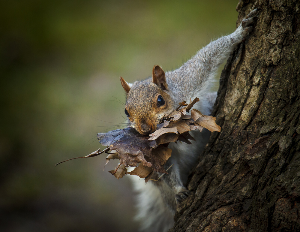A piece of fine art art photography titled Nest Building Squirrel by Michael Castellano