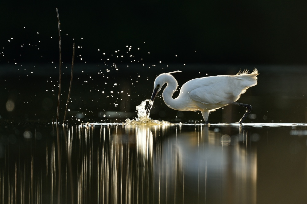 A piece of fine art art photography titled Hunting Little Egret by Yves Adams