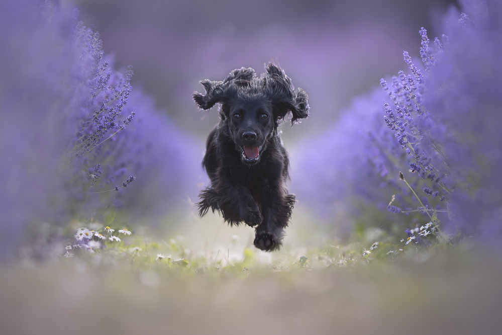 A piece of fine art art photography titled Flying Dog Throw a Lavender Field by Claudio Piccoli