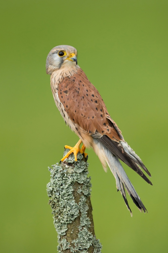 A piece of fine art art photography titled Common Kestrel by Milan Zygmunt
