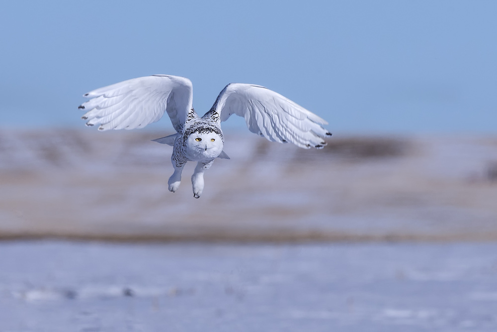 A piece of fine art art photography titled Snow Owl by Jun Zuo