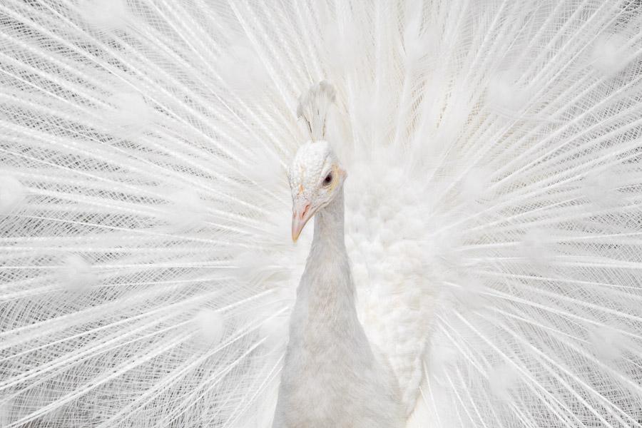 Splendid Whitie