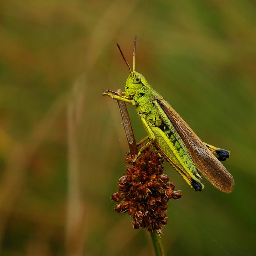 A piece of fine art art photography titled Grasshopper by Lifeware