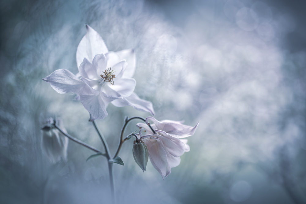 View this piece of fine art photography titled Aquilegia's heaven by Christl Deckx